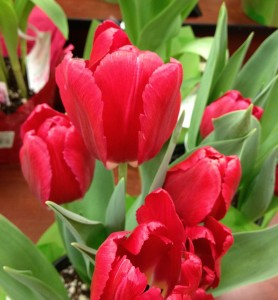 Grocery Store Tulips 2