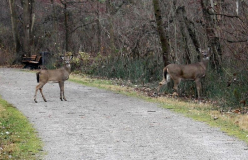 Deer on the Paint Creek Trail