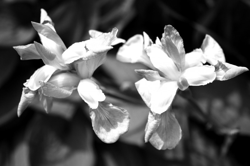 Iris in Black/White