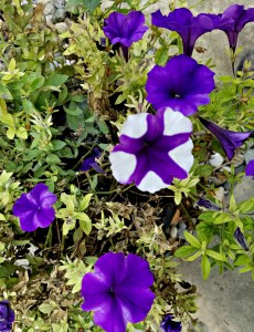 Purple all summer, until this popped up yesterday morning - Crazy Petunias!